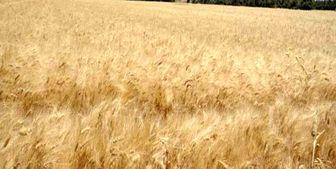 یارانه گندم به خارجی ها داده شد!