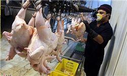 عرضه گسترده مرغ منجمد ۴۸۰۰ تومانی