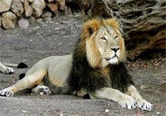 بازگشت یک جفت شیر ایرانی پس از ۱۲۰