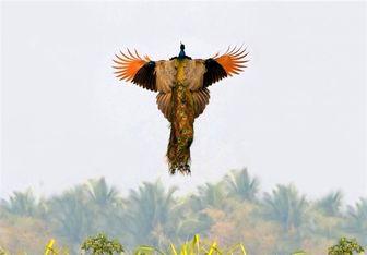 سویه جدید آنفولانزای فوق حاد پرندگان H۵N۶ انسان را هم درگیر می کند