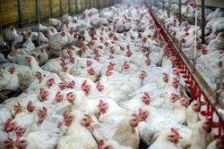 مرغ ایران در یک قدمی بازار روسیه