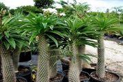 گیاه نخل ماداگاسکار /تکثیر گیاه نخل ماداگاسکار به سه روش