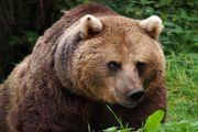 حمله خرس وحشی به مرد کوهرنگی