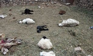 حمله پلنگ های گرسنه به گله گوسفندان
