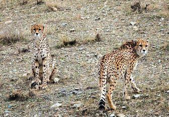 یوزپلنگ آسیایی کشف شده در تهران/ عکس