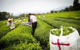 قیمت جدید چای در بازار